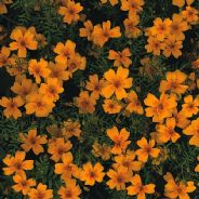 Tagetes Golden Gem - Appx 200 seeds